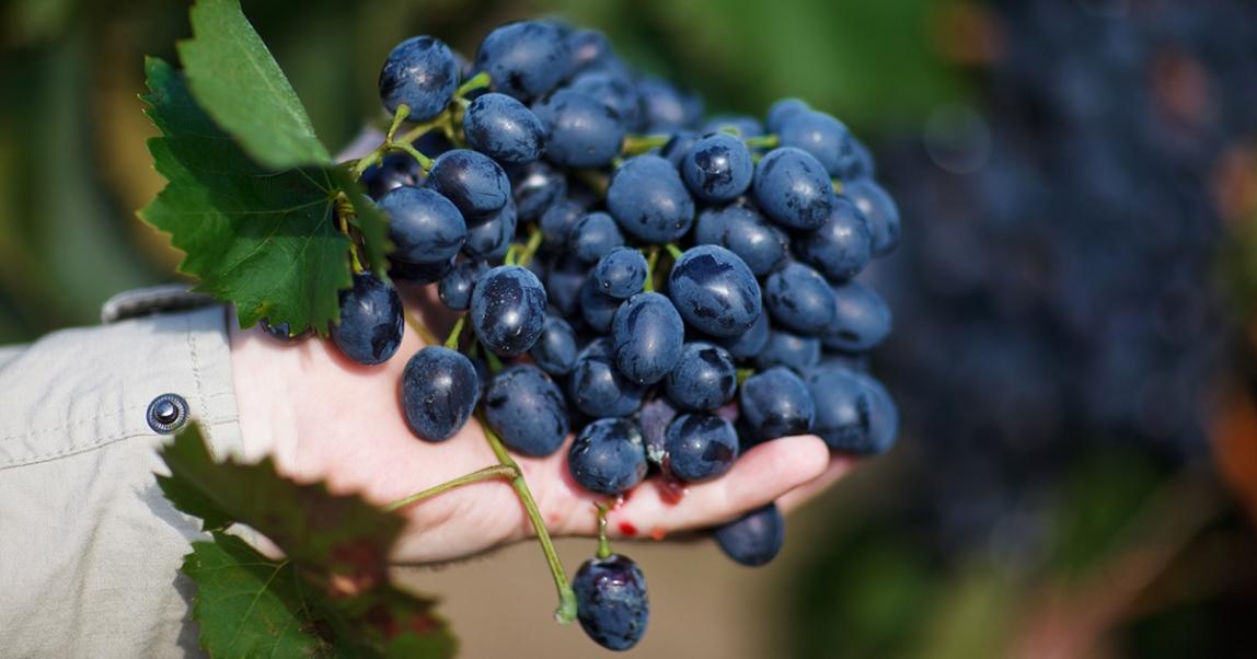 Автохтонные сорта винограда италии
